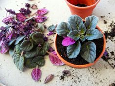 repotting african violets ~ Use a good growing medium. A potting medium suitable for African Violets should be sterilized, and light and airy to allow root penetration. Soil-less mixes are ideal - they contain sphagnum peat, vermiculite and perlite.