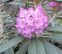 "Rhododendron 'Whidbey Island':  Flower ventricose-campanulate, 1½"" across, wavy edges, very light purple with narrow edging of vivid violet."