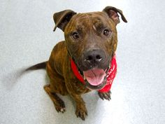 TO BE DESTROYED SUN. 10/19/14 -Manhattan Center   TAZ aka FRANK - A1016892 (Original ID#: A0991600) *** RETURNED AGAIN ON 10/9/14 - STRAY *** NH ONLY ***  MALE, BR BRINDLE / WHITE, PIT BULL MIX, 2 yrs, 2 mos STRAY - ONHOLDHERE, HOLD FOR ID Reason STRAY  Intake condition INJ MINOR Intake Date 10/09/2014, From NY 11233, DueOut Date 10/18/2014, I came in with Group/Litter #K14-197568.