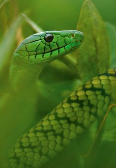 Jameson's Mamba, Cameroon -Detail- Photograph by Mattias Klum, National Geographic