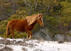 assateague island~ went here after wanting to go since I read Misty in Chintoteague in 5th grade.  Loved every minute of it!