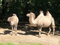 ZOO Zlín Where To Go, Camel, Kids, Animals, Young Children, Boys, Animales, Animaux, Camels