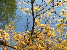 Tavasz - rügyek, levelek / Spring - buds, leaves