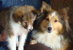 Poshie Puppies   Precious was 5.75 oz at birth, 2.08 lbs at 6 weeks, 18 lbs at maturity