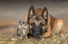 Stunning Photos of a Beautiful Shepherd Dog Posing Happily With His Owl Friends via @laughingsquid