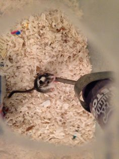 Cute baby gerbil learning to drink for the first time! These gerbils are so adorable! Super Cute Animals, Gerbil, Ohana, Cute Babies, Drink, Learning, Baby, Newborns, Teaching