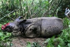 his Rare and Endangered one horned Rhinoceros was shot, maimed and dehorned by poachers in the jungle near Kariranga National Park, east of Guwahati, India. #jointheherd #worldrhinoday #wwf #antipoaching #wildaid #conservation #wildlifeprotection #endrhinohorntrade #endsuffering