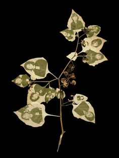 Binh Danh  The Leaf Effect: Study for transmission # 132005Chlorophyll print and resin10 x 13 inches