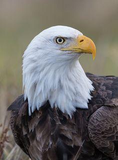 Bald Eagle Pictures, Eagle Images, Unique Wood Furniture, Eagle Art, Bald Eagles, Big Bird, Birds Of Prey, Wild Life, Cute Animals