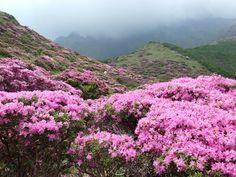 Azalea floreciendo en la montaña