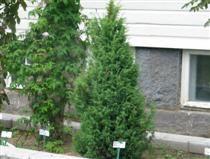 UNIPERUS COMMUNIS 'NORRBACK' pilarikataja  Erittäin kestävä, kotimaista alkuperää oleva pilarimainen tiheäoksainen pikkupuu. UNIPERUS COMMUNIS 'NORRBACK' pilarikataja  Erittäin kestävä, kotimaista alkuperää oleva pilarimainen tiheäoksainen pikkupuu. Lisäyslähde peräisin Vaasasta. Pystyt oksat nuokkuvat hieman kärjistään. Tämä kotikatajan muoto istutetaan nI–VI  3–7 m x 1–3 m A Kui–Tuo Ra+ Hk+