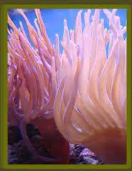 Resultado de imagen para polipos y medusas