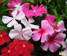 A linda vinca é encontrada em quatro diferentes tons: rosa, branco, roxo e vermelho. Essa flor floresce durante o verão e pode ser cultivada em canteiros ou vasos. Você já viu ou teve esta plantinha em seu jardim? Conte aqui! <3