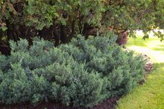 Maney Juniper Evergreen Shrub Rugged good looks earn Maney juniper (Juniperus chinensis 'Maneyi') a place in any landscape. This tough eve.