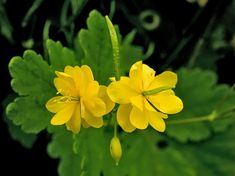 Celidonia - Chelidonium Majus Significato: gioie future