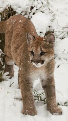 Puma Cub in Snow!