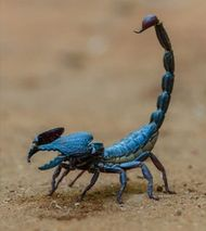 Scorpions are venomous and pincered arachnids that appear throughout some islands in Poptropica. Inside the Sphinx, there is an enormous blue scorpion that can sting you. Cool Insects, Bugs And Insects, Beautiful Creatures, Animals Beautiful, Spiders And Snakes, Cool Bugs, Beautiful Bugs, Fauna, Nature Animals