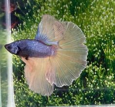 #204 Thai Import Fancy Multicolor Blue Yellow HM Halfmoon Male Betta Live Fish