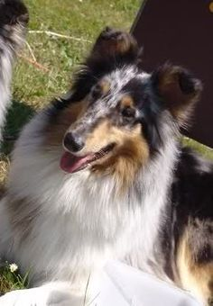 Scarlett <3 Rough Collie, Collie Dog, The Perfect Dog, Shetland Sheepdog, Cover Pics, Sheltie, Four Legged, Puppy Love, Life Is Good
