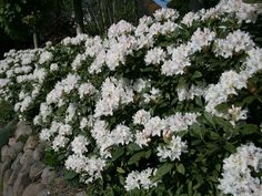 Image result for rhododendron border