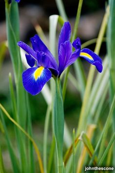 "Iris hollandica ""Blue Magic"" (Iris x hollandica).  2 ft tall.  Excellent cut flower.  Deer resistant.  Bloom in April and are unusually cold hardy.    These are recommended by several reputable local sources."