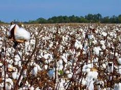 Want to learn something new today about cotton farming? If you want to know the cotton gin history and who invented the cotton gin, you're in for a treat! Cotton Gin, Organic Cotton, King Cotton, Gin History, Mississippi Delta, Cotton Plant, Cotton Fields, Field Of Dreams, Southern Comfort