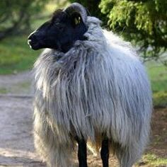 The FABULOUS Heidschnuke Sheep