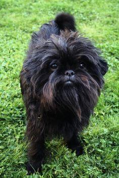 I need this dog. Affenpinscher.