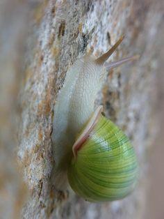 land snail, Laos