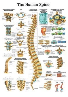 AcupunctureShop ApS - The Human Spine