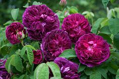 Rosa Gallica, 'Charles de Mills' - one of Vita Sackville-West's most beloved roses at Sissinghurst ...