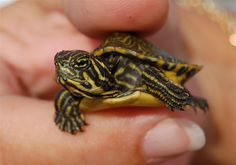 Leetle baby River Cooter...