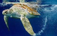 Sea turtle cruising ~ Capturing Human Impacts on the Ocean to Conserve Marine Life ~ Guy Marcovaldi Baby Sea Turtles, Marine Reserves, Under The Ocean, Tortoise Turtle, Turtle Love, Tortoises, Ocean Life, Marine Life, Sea Creatures