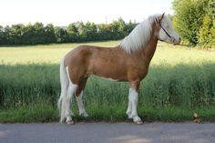 palomino splash white - Icelandic Horse stallion Láski vom Schwarzbachhof