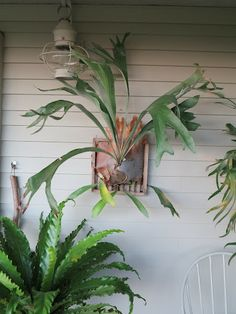 Staghorn fern mounting option: bread cutting board, or lattice made for this purpose.