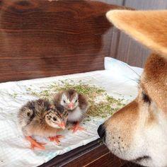 Знакомство#птенцы #цесарки #сиба#шибаину#shibainu#beme_beme