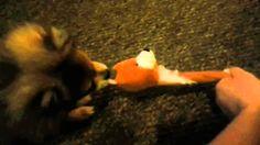 Kitsune playing