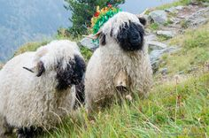 Swiss Black Nose sheep after summer grazing in the Alps, heading back to the stables copyright: Dominique Schreckling
