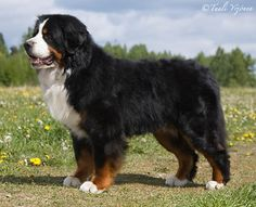 Bernese mountain dog. Great temperant, and gorgeous.
