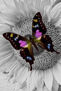 'Purple Butterfly On Sunflower' by Garry Gay Butterfly Kisses, Purple Butterfly, Butterfly Flowers, Mariposa Butterfly, Flying Flowers, Butterfly Wings, Beautiful Creatures, Animals Beautiful, Cute Animals
