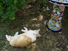 """Timmee in his garden of climbing roses from the """"old place"""". He loved his cool spot under the roses with Pearl. Mikee never has shown any interest in that garden so it was always Tim and Pearl. His Grave is right where he is lying in this photograph. He is so handsome!"""