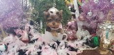 Some of the Tiniest, Most Beautiful Teacup Yorkie Puppies in the World! Teacup Yorkie and Small Toy Yorkies for Sale. Teacup Yorkie For Sale, Yorkies For Sale, Yorkie Puppy For Sale, Teacup Chihuahua, Cute Dogs And Puppies, Puppies For Sale, Pet Dogs, Pets, Pomeranian Dogs