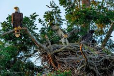 A Bald Eagle family who adopted a Red Tail Hawk 30 minutes before Friday's sun set.
