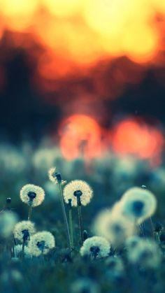 Sunset-Dandelions-iPhone-Wallpaper