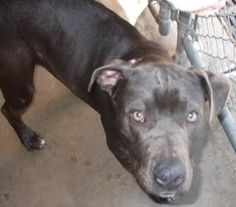 Mele is an adoptable Pit Bull Terrier Dog in Vallejo, CA. This wonderful girl was hit by a car, and is recovering from a concusion, but she has got to be one of the sweetest dogs we have ever met! Her...