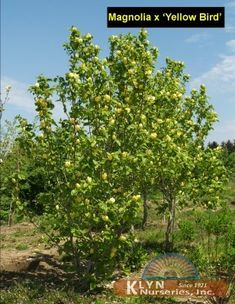 "Magnolia ""yellow bird"" Magnolia, Bird, Yellow, Plants, Magnolias, Birds, Plant, Planets"
