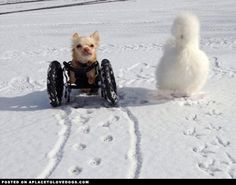 Disabled Chihuahua And Chicken Best Pals. This is the most adorable friendship between a disabled Chihuahua named Roo and his pal Silkie chicken Penny, both rescued by the Duluth Animal Hospital in Georgia.  Roo was born without his front legs and got a new lease on life when vets made him a custom doggy wheelchair in June of last year.