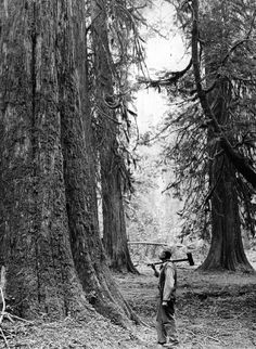 Lumberjack at the base of giant Douglas firs (circa 1915)  Click here to view the image in our Digital Archives.