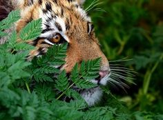 Tiger cub by Lu . - Photo 111672171 - 500px