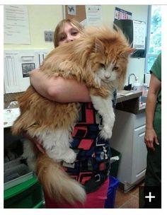 Huge Cats! - 01 | Yuuuuuuuge cats!! Yuge!! ~ Alan Taylor via… | Flickr